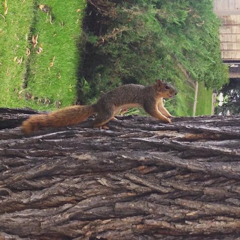 Kanada Eichhörnchen