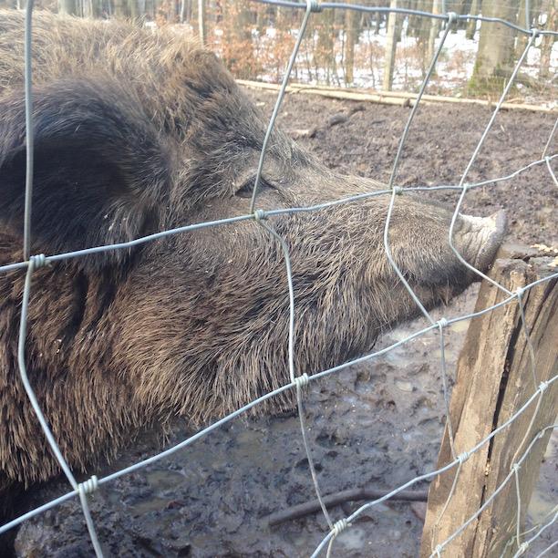 Wildschwein Eulbach