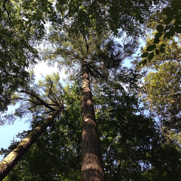 Höchster Baum Berlins